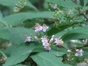 ムラサキシキブ 花の様子