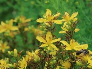 コゴメバオトギリ 花の姿