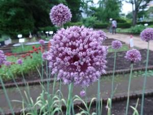 アリウムの1種 花の姿 アップ
