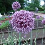 Allium アリウムの1種? 花の姿 アップ