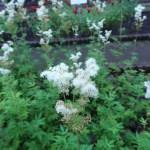 セイヨウナツユキソウ 花の様子