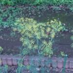 イノンド 花の咲いている様子