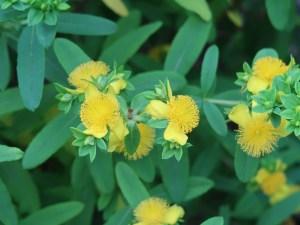 ヒペリカム フォンドスム 花の咲いている様子