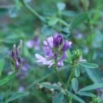 Alfalfa/ ムラサキウマゴヤシ