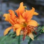 ヤブカンゾウ 花の姿
