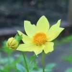 ダリア 黄色の花の姿