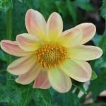 ダリア 黄色とピンクの花の姿