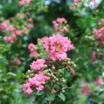 サルスベリ ベトナムのサルスベリの花の姿