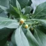 Carpesium abrotanoides / ヤブタバコ
