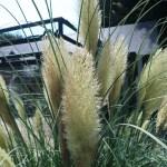 Pampas grass/ パンパスグラス