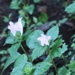 スズムシバナ 花の咲いている様子