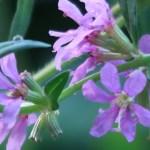 ミソハギ 花の姿