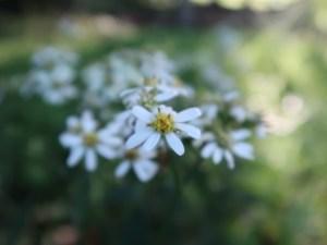 シラヤマギク 花の様子