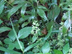 イヌトウバナ 植物の様子