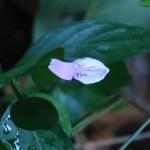 ハグロソウ 花の姿