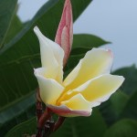 プルメリア 黄色の若い花