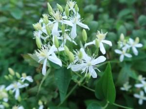 センニンソウ 花の様子