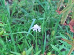 マツムシソウ 花の咲いている様子