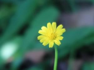 ブタナ 花の姿