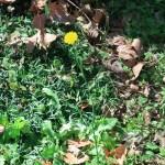 ブタナ 花の咲いている様子
