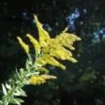 Canada goldenrod / セイタカアワダチソウ
