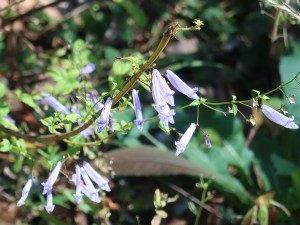 アキチョウジ 花の咲いている様子