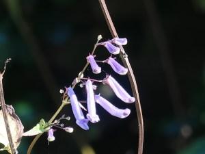 アキチョウジ 花の咲いてる姿