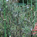 サルビア・アズレア 花の咲いている様子
