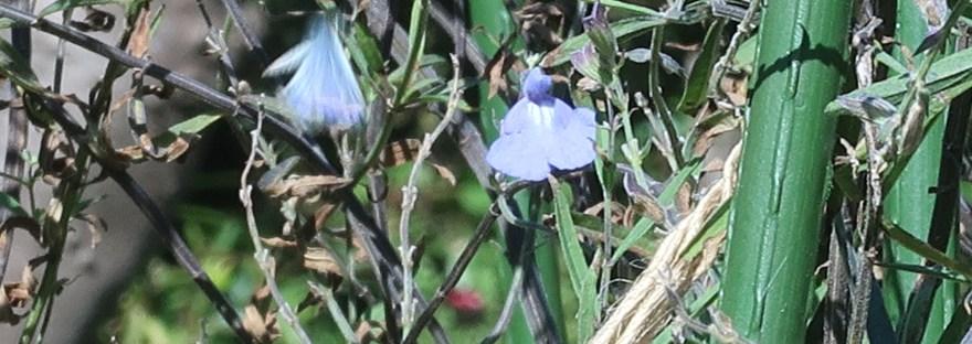 Blue sage / サルビア・アズレア
