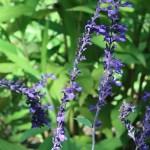 Lavender sage/ ラベンダーセージ