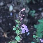 カラミント 花の咲いてる様子