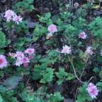 アカバナムシヨケギク 花の咲いている様子