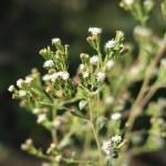 ステビア 花の咲いている様子