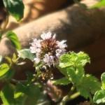 カーリーミント 花の様子