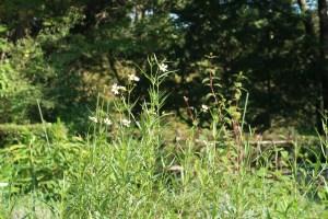 ウインターコスモス 花の咲いている様子