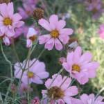 コスモス 品種名 ハミングバードピンク