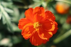 キバナコスモス 品種名 サニーレッド