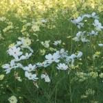 白色と黄色のコスモス 品種:イエローガーデン