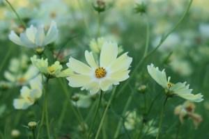 薄黄色の素敵なコスモス 品種名 イエローキャンパス