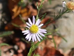Aster kantoensis/ カワラノギク