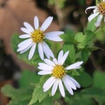 Japanese aster/ ノコンギク