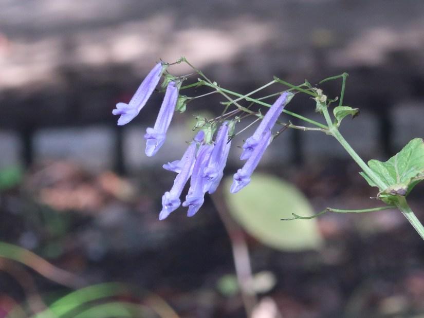 Rabdosia effusa/ セキヤノアキチョウジ