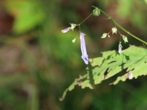 セキヤノアキチョウジ 花の咲いている様子