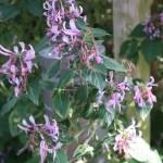ヒポエステス・アリスタタ 花の咲いている様子