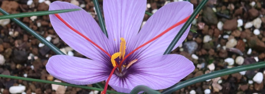 Saffron サフラン