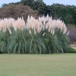 パンパスグラス 草の様子