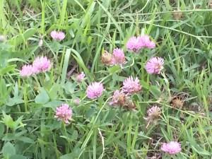 ムラサキツメクサ 花の様子