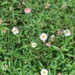 アズマギク 花の咲いている様子
