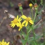 Narrow-leaved ragwort/ セネシオイナエクイデンス