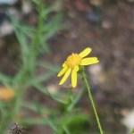 セネシオイナエクイデンス 花の姿
